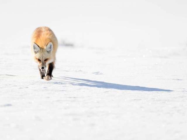 Red Fox - Stalking