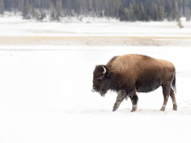 Bison at Lower Geyser Basin