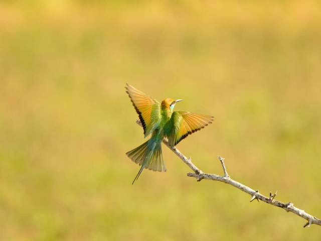 Little Green Bee-eater with Wings Fluttering