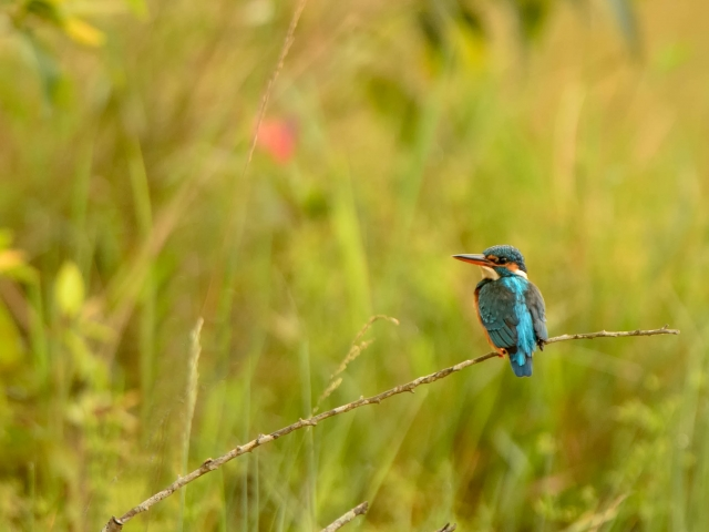 Common Kingfisher - Joy