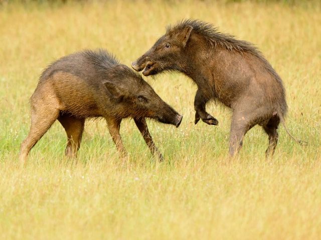 Wild Pig Attack