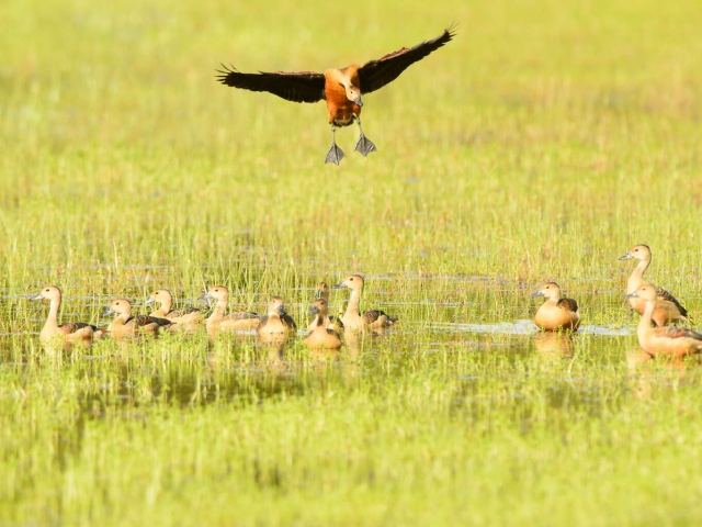 Whistling Duck - Mamma's Home