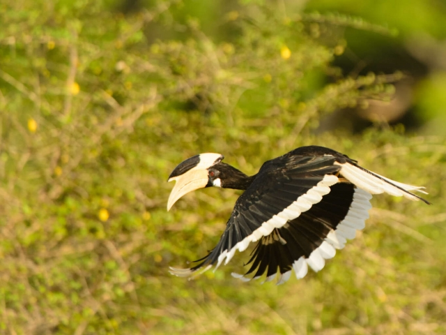Malabar Pied Hornbill In Flight