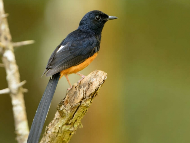 White-rumped Shama - Grace