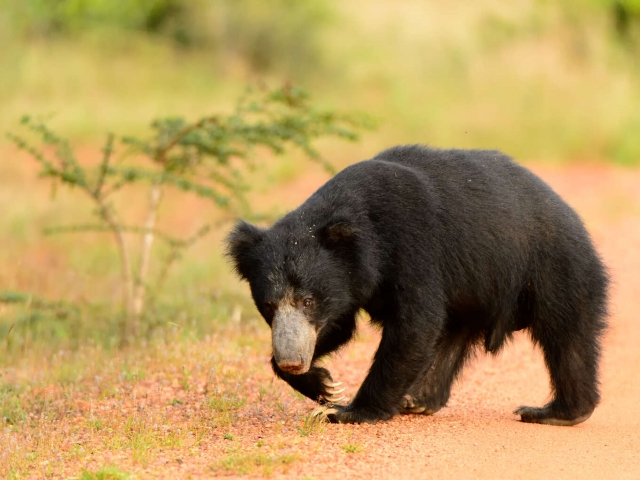 Sloth Bear - Walk the walk!