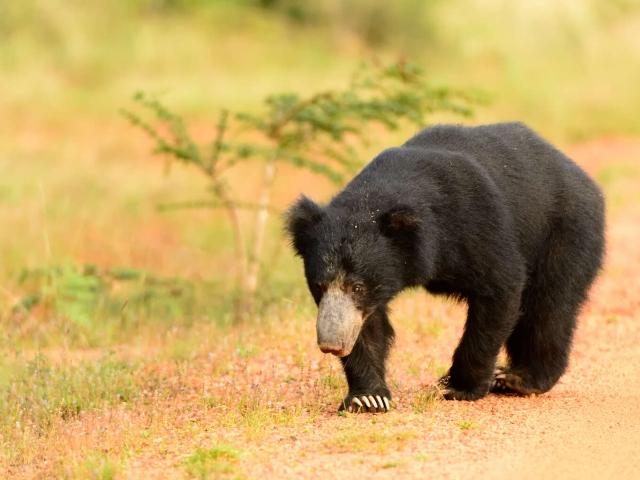 Sloth Bear - Prowling