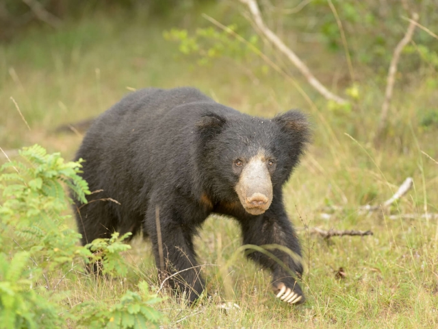 Sloth Bear - Looking At You
