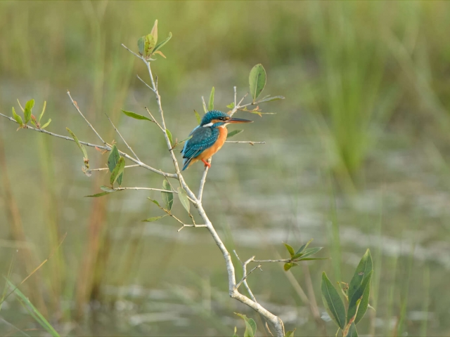 Common Kingfisher - Focused