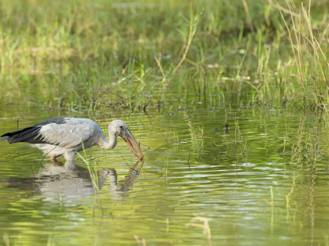 Open-billed Stork - Fishing