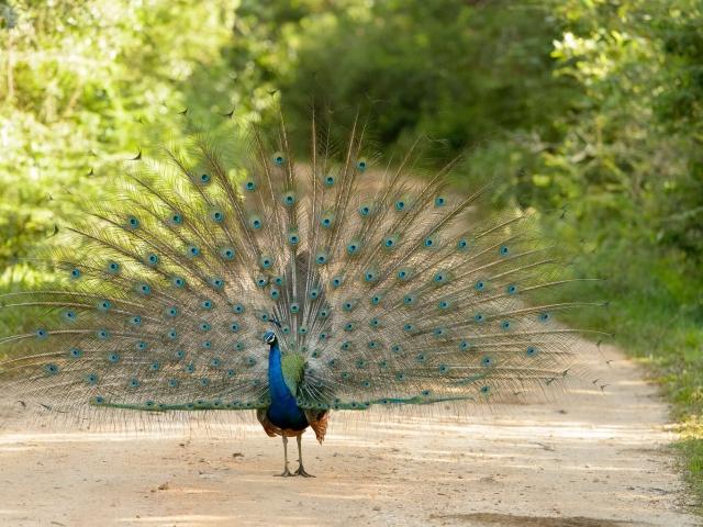 Peacock - Parade