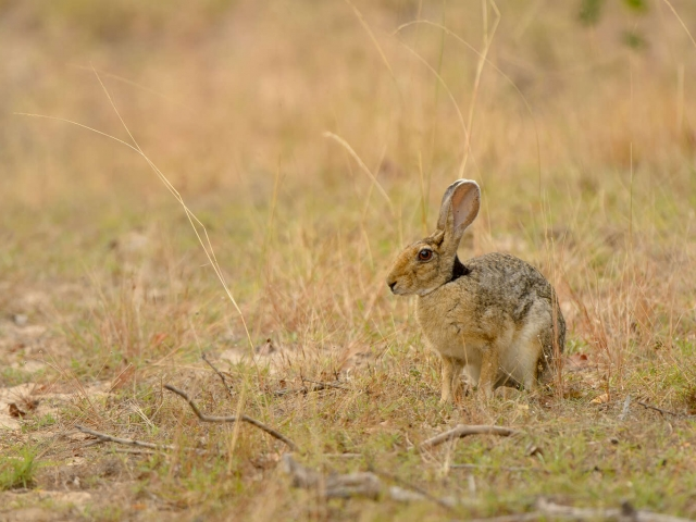 Black-nape Hare in Grass