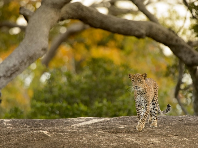 Leopard - Strutting His Stuff