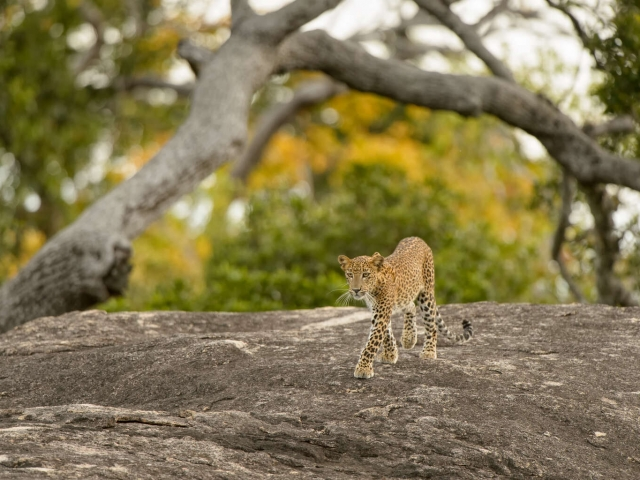 Leopard - Tip Toe