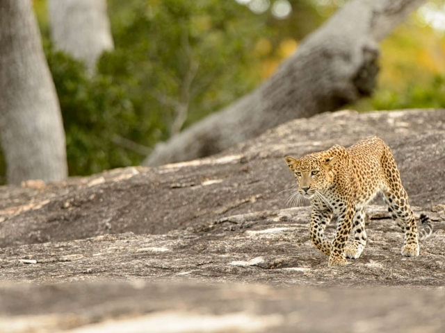 Leopard - Swagger Over Rocks