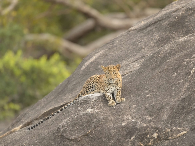 Leopard - Relaxing on Rock