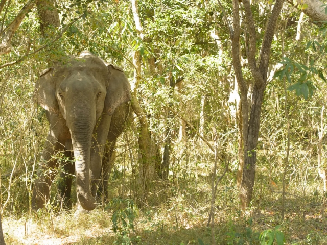Sri Lankan Elephant - Forest Camouflage