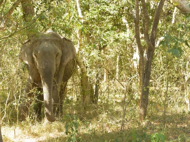 Sri Lankan Elephant - Forest Camouflage