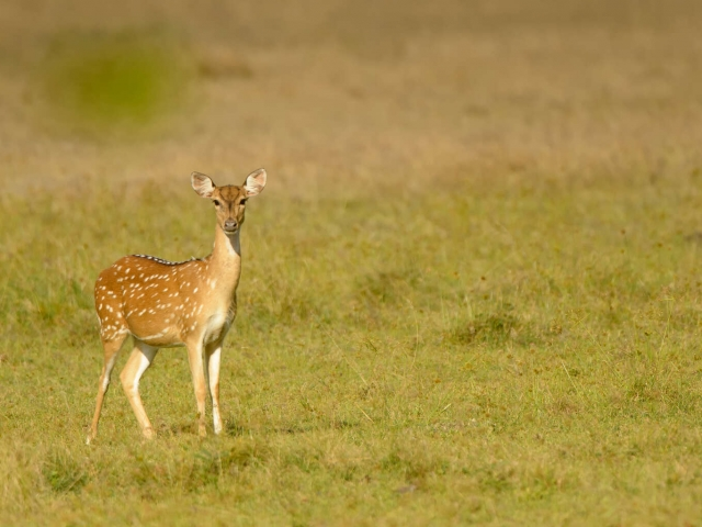 Spotted Deer - Vigilant