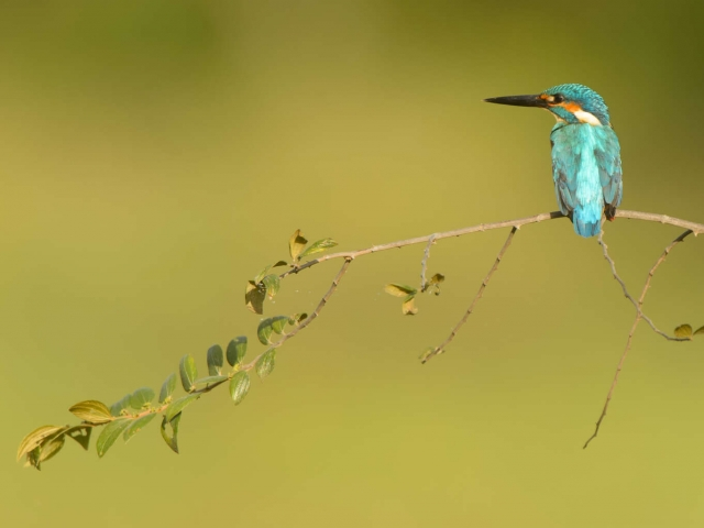Common Kingfisher - Beauty