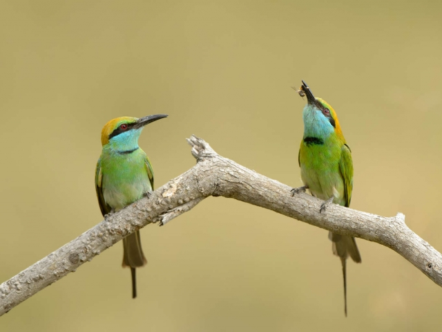 Little Green Bee-eater - Dinner for One