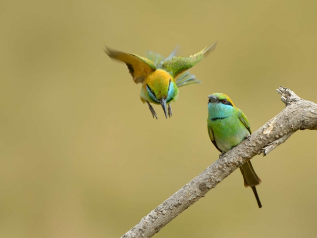 Little Green Bee-eater Landing
