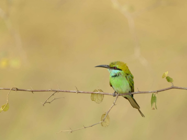 Little Green Bee-eater on Branch - Contemplation