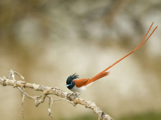 Paradise Flycatcher - Courtsey