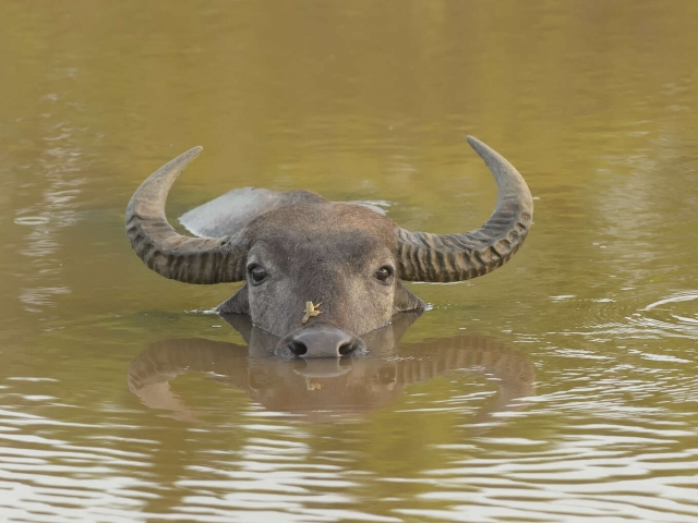 Water Buffalo - Say Hello to My Little Friend