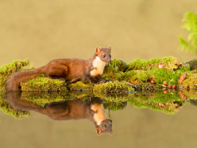 Pine Marten - Reflection I