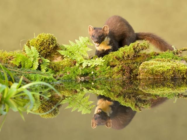 Pine Marten Snarling