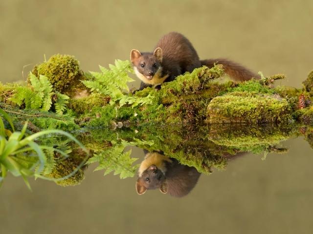 Pine Marten - Reflection II