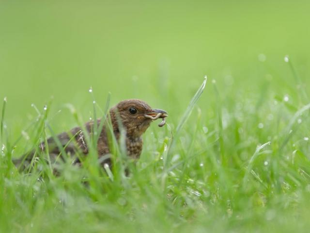 Blackbird Catches the Worm