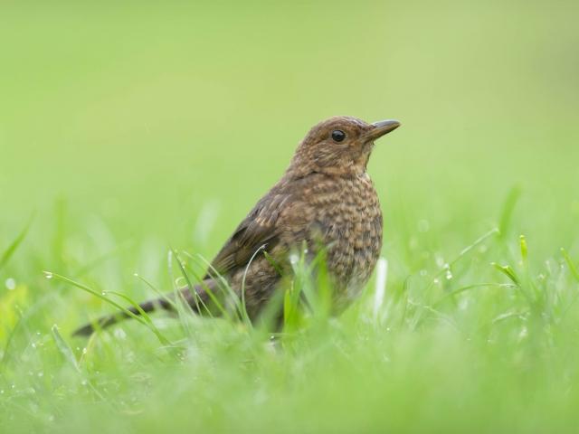 Female Blackbird in Grass