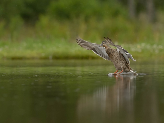 Mallard - Water Landing