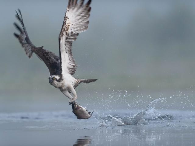 Osprey - Fly By Dinner
