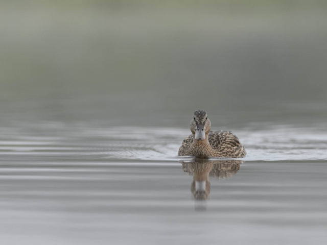 Mallard - In Tranquil Water