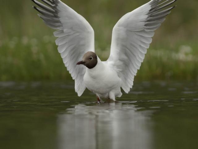 Black Headed Gull - Angel Relection