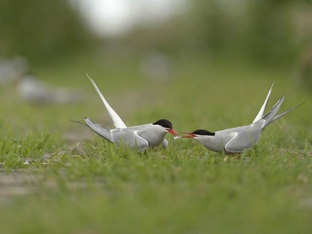 Arctic Tern Bonding