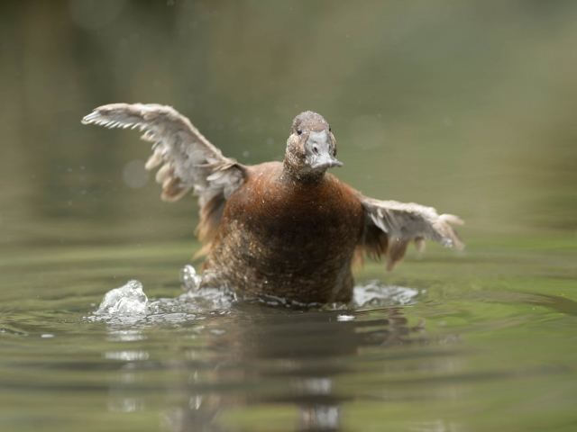 White-headed Duck - Take off