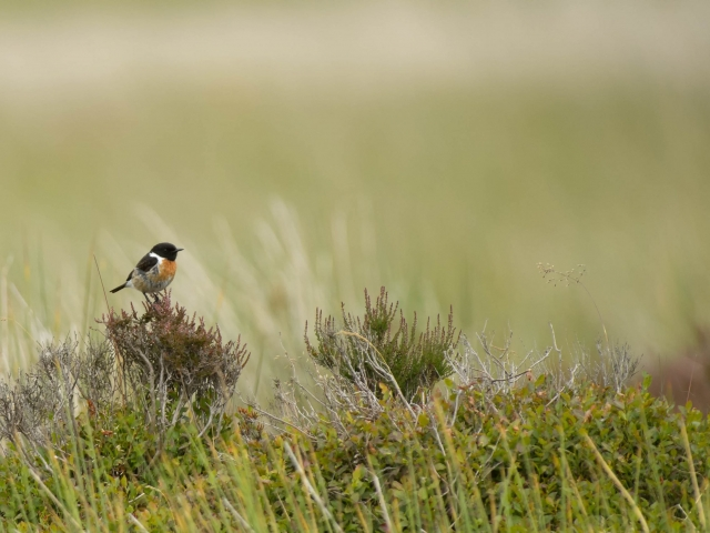 Male Stonechat on Moors
