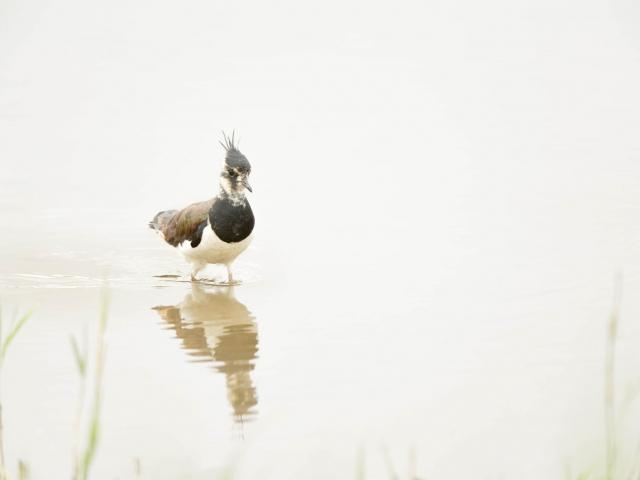 Lapwing - Reflection