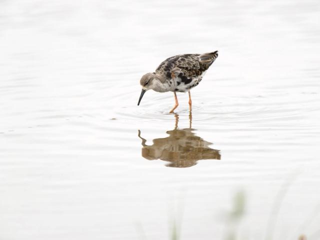 Black-tailed Godwit - Reflection