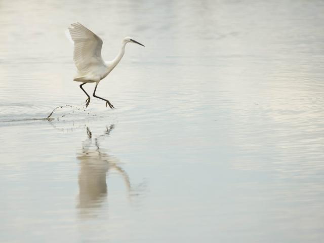 Little Egret - Walk on Water
