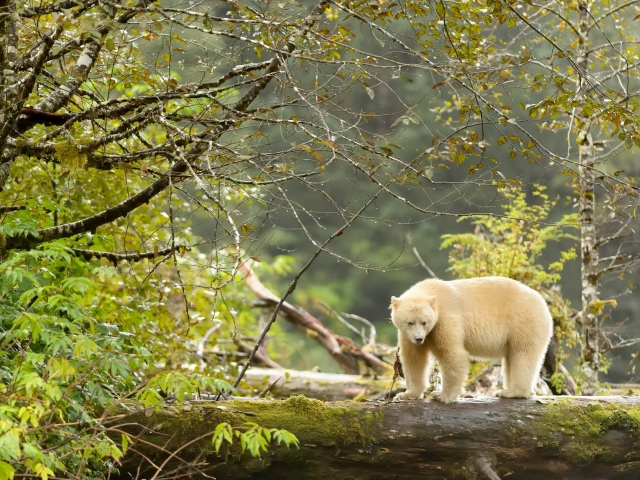 Spirit Bear - In Green Forest