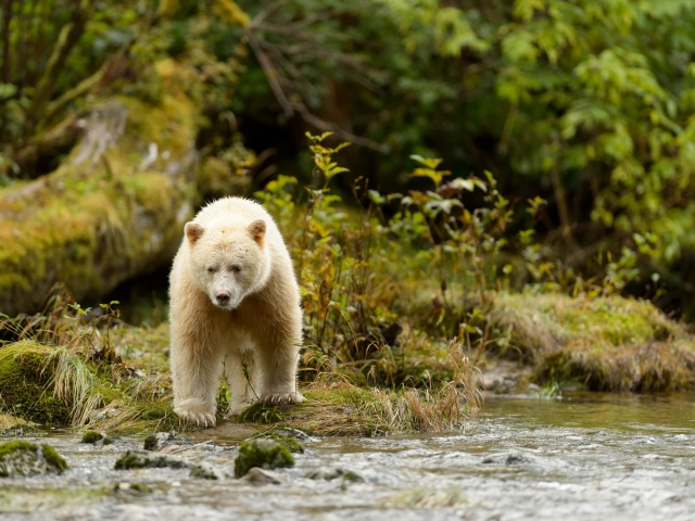 Spirit Bear - On Waters Edge