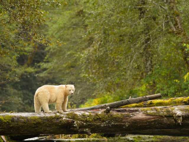 Spirit Bear - Surveying