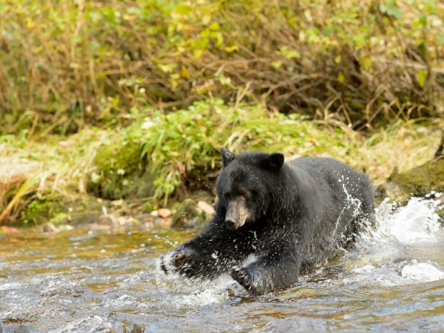 Black Bear - Diving for Fish