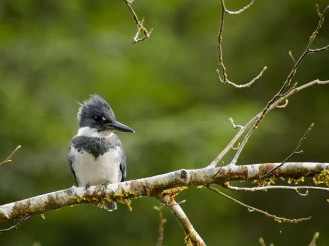 Belted Kingfisher (Male) - Perched on a Branch