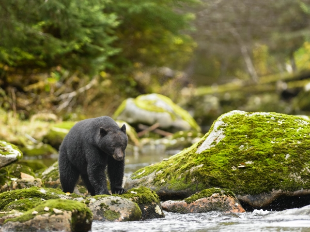 Black Bear - Under a Watchful Eye