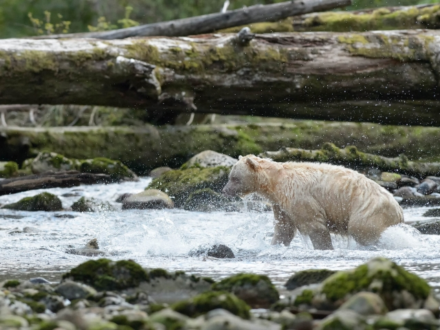 Spirit Bear - River Dance